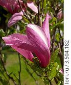 Купить «Цветок магнолии лилиецветной (Magnolia liliiflora)», фото № 3504182, снято 9 мая 2012 г. (c) Ирина Борсученко / Фотобанк Лори