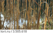 Сухие стебли тростника на ветру. Стоковое видео, видеограф Андрей Леонидов / Фотобанк Лори