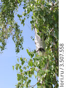 Береза. Стоковое фото, фотограф Ирина Золина / Фотобанк Лори