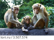 Купить «Обезьянье семейство», фото № 3507574, снято 26 февраля 2012 г. (c) Лия Покровская / Фотобанк Лори