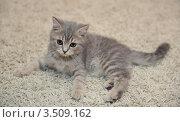 Купить «Британский котенок лежит на ковре», фото № 3509162, снято 12 мая 2012 г. (c) Наталия Ефимова / Фотобанк Лори
