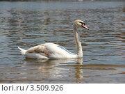 Лебедь. Стоковое фото, фотограф Кутдусова Марина / Фотобанк Лори