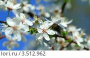 Купить «Цветение вишни», видеоролик № 3512962, снято 23 апреля 2012 г. (c) ILLYCH / Фотобанк Лори