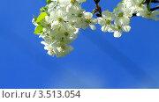 Купить «Цветение вишни», видеоролик № 3513054, снято 23 апреля 2012 г. (c) ILLYCH / Фотобанк Лори