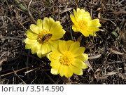 Купить «Адонис (горицвет весенний). Adonis vernalis L.», фото № 3514590, снято 10 апреля 2012 г. (c) Григорий Писоцкий / Фотобанк Лори