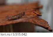 Коричневый кузнечик на коричневом. Стоковое фото, фотограф Александр Казаков / Фотобанк Лори