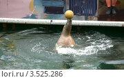 Купить «Выступление морского котика с мячиком», видеоролик № 3525286, снято 2 сентября 2008 г. (c) Losevsky Pavel / Фотобанк Лори