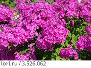 Купить «Флоксы (лат.Phlox)», эксклюзивное фото № 3526062, снято 23 июля 2011 г. (c) lana1501 / Фотобанк Лори
