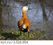 Огарь, или красная утка (лат. Tadorna ferruginea) Стоковое фото, фотограф lana1501 / Фотобанк Лори