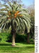 Купить «Финиковая пальма (Arecaceae)», фото № 3528014, снято 7 апреля 2012 г. (c) Татьяна Белова / Фотобанк Лори