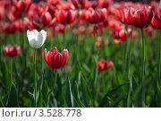 Белый тюльпан на фоне красных. Стоковое фото, фотограф light / Фотобанк Лори