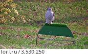 Купить «Сокол в парке», видеоролик № 3530250, снято 17 ноября 2008 г. (c) Losevsky Pavel / Фотобанк Лори