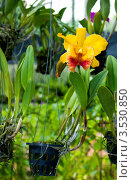 Купить «Орхидея, Тайланд», фото № 3530850, снято 5 сентября 2011 г. (c) ElenArt / Фотобанк Лори