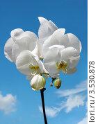 Купить «Белая орхидея на фоне чистого неба», фото № 3530878, снято 5 сентября 2011 г. (c) ElenArt / Фотобанк Лори