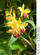 Купить «Орхидея, Таиланд», фото № 3530922, снято 5 сентября 2011 г. (c) ElenArt / Фотобанк Лори
