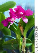 Купить «Орхидея, Таиланд», фото № 3530926, снято 5 сентября 2011 г. (c) ElenArt / Фотобанк Лори