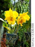 Купить «Желтая орхидея, Таиланд», фото № 3530930, снято 5 сентября 2011 г. (c) ElenArt / Фотобанк Лори