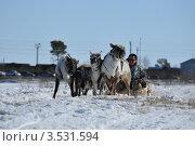 Оленьи бега (2012 год). Редакционное фото, фотограф Василий Клинов / Фотобанк Лори