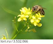 Пчела на желтом цветке. Стоковое фото, фотограф Сергей Жадов / Фотобанк Лори