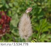 Лесной клоп на зайцехвосте(лагурусе) Стоковое фото, фотограф Александр Казаков / Фотобанк Лори