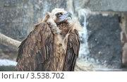 Купить «Хищная птица», видеоролик № 3538702, снято 11 февраля 2009 г. (c) Losevsky Pavel / Фотобанк Лори