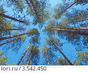 Купить «Сосны на фоне неба», фото № 3542450, снято 29 января 2020 г. (c) Алексей Кокоулин / Фотобанк Лори