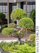 Декоративное растение во внутреннем дворике аэропорта Сочи. Стоковое фото, фотограф Dmitriy Semyonov / Фотобанк Лори