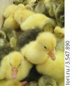 Жёлтые гусята. Стоковое фото, фотограф Стрельченко Сергей / Фотобанк Лори