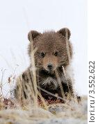 Купить «Медвежонок», фото № 3552622, снято 29 мая 2012 г. (c) Максим Деминов / Фотобанк Лори