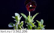 Купить «Фиалка расцветает, таймлапс», видеоролик № 3562206, снято 29 мая 2012 г. (c) Коваль Василий / Фотобанк Лори