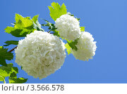 Купить «Калина Бульденеж, или Снежный шар (лат. Viburnum opulus var sterile) на фоне голубого неба», эксклюзивное фото № 3566578, снято 24 мая 2012 г. (c) Елена Коромыслова / Фотобанк Лори