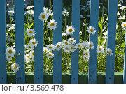 Любопытные ромашки. Стоковое фото, фотограф Владимир Макеев / Фотобанк Лори