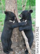 Гималайские медвежата (Ursus thibetanus) Стоковое фото, фотограф syngach / Фотобанк Лори
