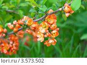 Купить «Цветущая айва на фоне зеленой листвы», фото № 3573502, снято 12 мая 2012 г. (c) Яков Филимонов / Фотобанк Лори
