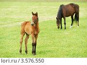 Купить «Лошадь с жеребенком на пастбище», фото № 3576550, снято 3 июня 2012 г. (c) Дмитрий Калиновский / Фотобанк Лори