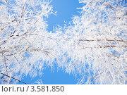Купить «Кроны зимних деревьев на фоне голубого неба», иллюстрация № 3581850 (c) Константин Ёлшин / Фотобанк Лори