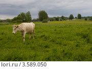 Купить «Корова на лугу», фото № 3589050, снято 1 июня 2012 г. (c) Валерий Пчелинцев / Фотобанк Лори