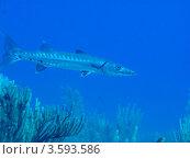 Купить «Большая барракуда (Sphyraena barracuda / Great barracuda) охотится среди кораллов», фото № 3593586, снято 11 декабря 2011 г. (c) Сергей Дубров / Фотобанк Лори