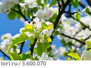 Нежные цветы яблони. Стоковое фото, фотограф Сергей / Фотобанк Лори