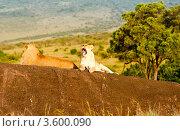 Купить «Лев и львица. Кения», фото № 3600090, снято 8 июня 2012 г. (c) Екатерина Овсянникова / Фотобанк Лори