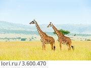 Купить «Два жирафа. Кения», фото № 3600470, снято 9 июня 2012 г. (c) Екатерина Овсянникова / Фотобанк Лори