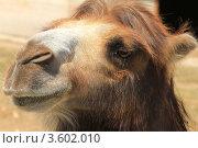 Верблюд. Стоковое фото, фотограф Кузьмичёв Виктор Вячеславович / Фотобанк Лори
