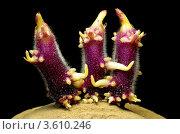 Танец ростков на картошке. Стоковое фото, фотограф Денис Антонов / Фотобанк Лори