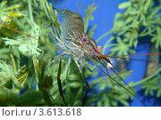 Креветка в аквариуме. Стоковое фото, фотограф Алина Сысоева / Фотобанк Лори
