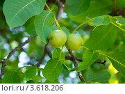 Купить «Зреющие грецкие орехи», фото № 3618206, снято 24 июня 2012 г. (c) Валерий Шилов / Фотобанк Лори
