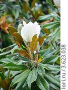 Купить «Магнолия крупноцветковая (лат. Magnolia Grandiflora)», фото № 3623038, снято 26 июня 2012 г. (c) Анна Мартынова / Фотобанк Лори