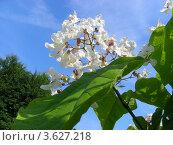 Цветки катальпы (Catalpa bignonioides Walt.) Стоковое фото, фотограф lana1501 / Фотобанк Лори