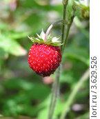 Спелая ягода земляники на ветке. Стоковое фото, фотограф Виктор Полищук / Фотобанк Лори