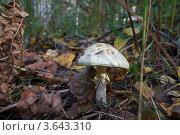 Мухомор поганковидный. Стоковое фото, фотограф Александр Казаков / Фотобанк Лори