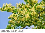 Купить «Липа крупнолистная (Tilia)», фото № 3644362, снято 23 июня 2012 г. (c) Алёшина Оксана / Фотобанк Лори